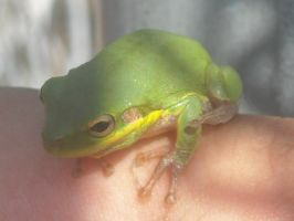 Green treefrog by insectmaster
