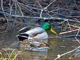 Male Mallard Looking At Me by wolfwings1