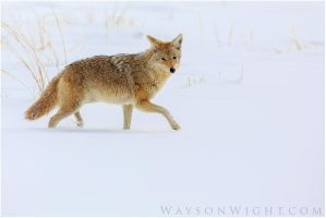 Coyote Portrait by tourofnature