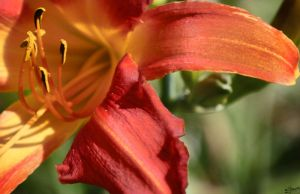 Red Lily by iFix