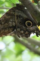 Owl butterfly II by Gothic-Enchantress