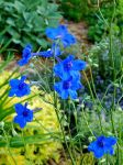 Larkspur 1 by MadGardens