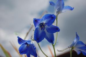 Stock 384 - Blue Flower by pink-stock