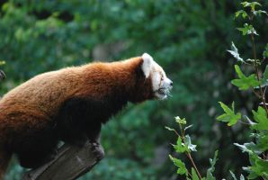 red panda 1.18 by meihua-stock
