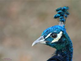 Profile of a Peacock by panda69680102