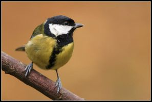 Great Tit II by nitsch