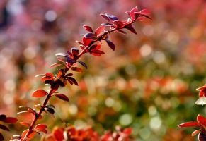 Berberis. by efeline
