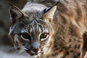 Bobcat by aradosev2687