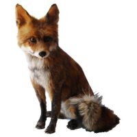 Mounted red fox for sale, taxidermy by Museumwinkel