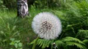 Dandelion by CapellArt