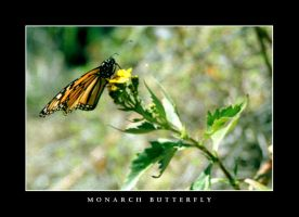 Monarch Butterfly by Zefhar