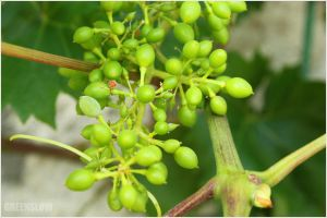 Luscious grapes by GreenSlOw