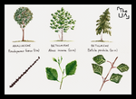 Tree Study - Broad Leaved 3 by TheUnconfidentArtist