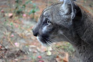 Babs the florida panther by LigerStar84