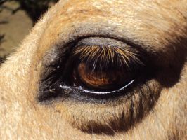 Horse Eye by NalaAbmis
