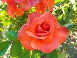 Pink Orange Rose by ShipperTrish