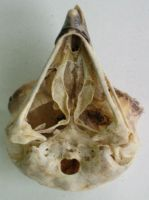 Stock Owl Skull Ventral by coyotlprole