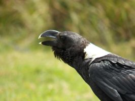 White Necked African Raven by SplashKittyPhotos