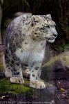 Snow Panther 9 _ Stock Image by sekhmet-stock
