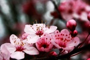 Cherry blossom one by Maewolf86