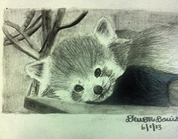 Red Panda Drawing by DevonDavis