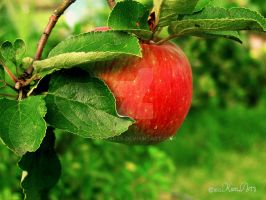 Red apple by kumArts