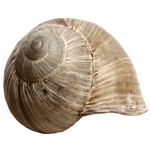 Stock Snail Shell PNG by E-DinaPhotoArt
