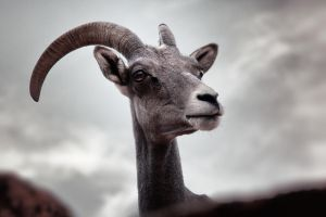 Wild Mountain Goat with Clouds by AugenStudios