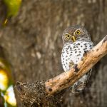 Barred Owlet by MrStickman