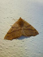 Male Feathered Thorn Moth at Front Door by SrTw