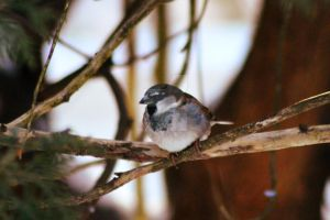 House Sparrow by donnatello129