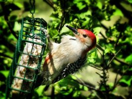 Redheaded Woodpecker by S-H-Photography