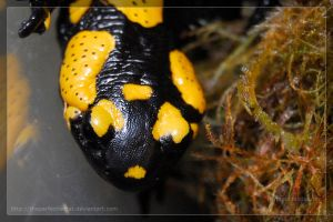 Fire Salamander by theperfectlestat