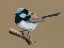 Blue Fairy Wren in pastel by SteveHargreaves