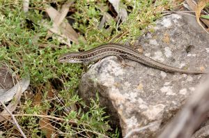 Robust Striped Skink by bredli84