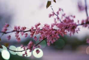 Blossoms by TheShortness28