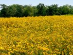 Field of Yellow Flowers 2 by FairieGoodMother