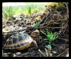 Baby Russian Tortoise by foogie