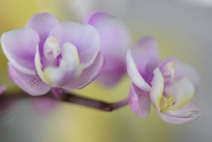 Dream orchid flower 1 by a6-k