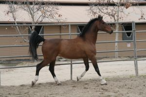Crazy Warmblood 9 by Aestivall-Stock