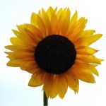 sunflower stock by Fab1Fotodes1gn