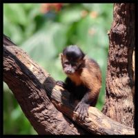 Curious Capuchin by furryphotos