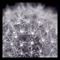 Dandelion III by Polychromic