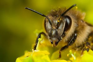 Honey Bee Portrait by Alliec