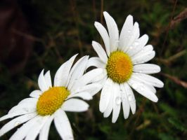 White Daisies by pretty-in-black-750