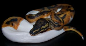 Piebald Ball Python III by Phoenix-Cry