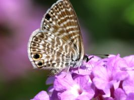 Marine Blue Butterfly by suhleap