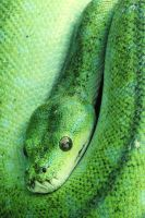 Green Tree Python by frosty-011