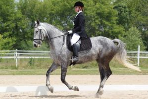 Gray Warmblood Mare 002 by diamonte-stock