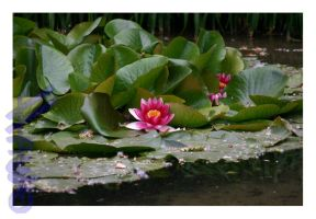 Red Lotus by fabioricci
